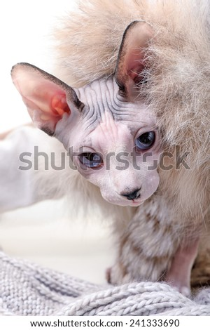 naked Canadian sphynx cat with  luxurious fur and wool close-up  - stock photo