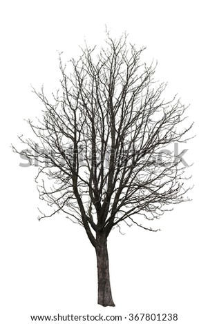 Naked tree on white background