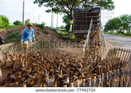 NAKHON-RATCHASIMA, THAILAND - JUNE 14: Agriculturist herding ducks back from rice field onto a truck to move them on June 14, 2009 in Nakhon-Ratchasima province, Thailand. - stock photo