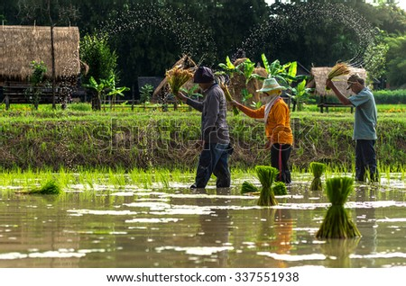 NAKHON RATCHASIMA, THAILAND - OCTOBER 31: Undefined farmers rice planting on the paddy field at the morning on October 31,2015 in Nakhon ratchasima, Thailand. - stock photo