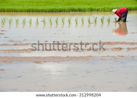 NAKHONRATCHASIMA THAILAND - JULY19 : Thai farmer working on rice field at the North - Eastern region Nakhonratchasima, Thailand on JULY19, 2012 - stock photo