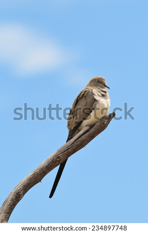 Namaqua Dove - African Wild Bird Background - Perch of Peace and Symbolic Freedom - stock photo