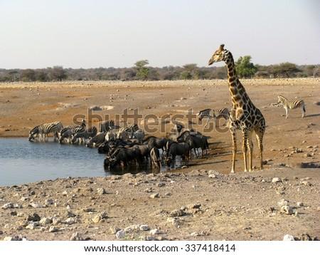 Namibia animals drinking - stock photo