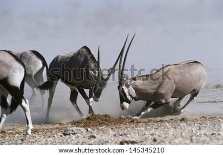 Namibia Etosha Pan Gemsbok fighting - stock photo