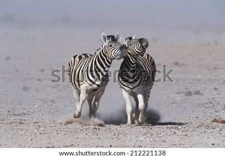 Namibia, Etosha Pan, two Burchell's Zebras running side by side - stock photo