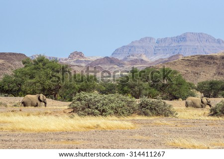 Namibian desert elephants in the mountains near Aba Huab river