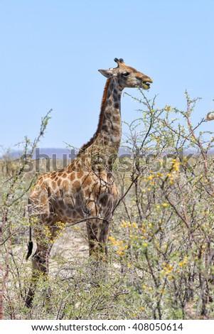 Namibian Giraffe (Giraffa camelopardalis angolensis) feeding on an acacia in Etosha National Park, Namibia - stock photo
