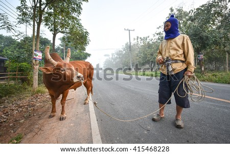 NAN, THAILAND - JANUARY 16, 2016 : Unidentified old man propel Banteng (Red Bull, Fighting bull) go to field for eat grass