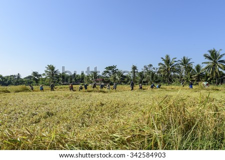 NAN,THAILAND-NOVEMBER 23,2015:Farmer are helping to harvest at Nan province,north Thailand.
