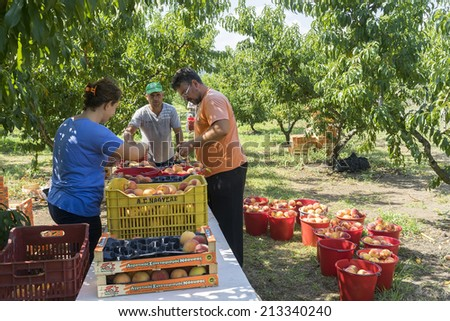 "NAOUSSA GREECE- AUGUST 20 2014: Workers placing ripe peaches in crates at the factory of Agricultural Cooperative of Naoussa Greece. The famous ""Naoussa Peaches"" are the area's main product.  - stock photo"