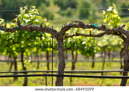 Napa Grape Vine in Spring - stock photo