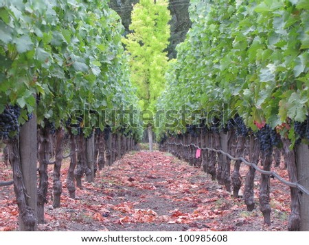 Napa Valley grapes on the vine at harvest time - stock photo