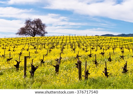 Napa Valley Spring Vineyards with Mustard Flowers Blooming and Lone Tree - stock photo