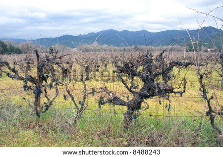 Napa Valley vineyard with grapes in winter.