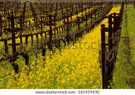 Napa Valley Vineyards and Mustard in Spring  - stock photo