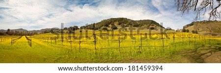 Napa Valley Vineyards and Mustard in Spring Panoramic - stock photo