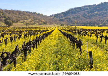 Napa Valley Vineyards and Spring Mustard Blooming in the Fields - stock photo