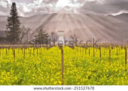 Napa Valley Vineyards, Blooming Mustard, Barn, Sky, Sun Rays - stock photo