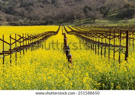 Napa Valley Vineyards, Blooming Mustard, Smudge Pots, Trellis - stock photo