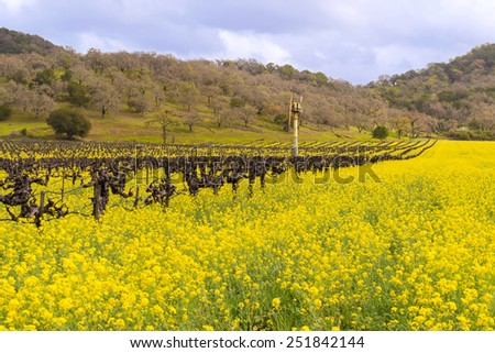 Napa Valley Vineyards, Blooming Mustard, Wind Fan, Mountains and Sky - stock photo