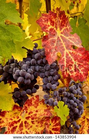 Napa Valley Vineyards Panoramic - stock photo