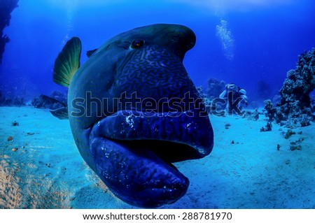 Napoleon Fish in front of the camera, Indian Ocean, Maldives - stock photo