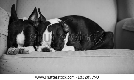 Napping Boston Terriers - stock photo