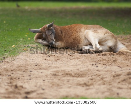 Napping kangaroo on the cold sand in park - stock photo