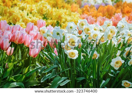 Narcissus and Tulips Flowers (Shallow DOF) - stock photo