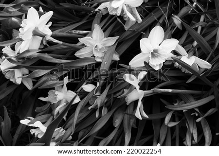 Narcissus black & white background - stock photo