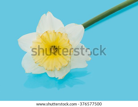 Narcissus close-up on a blue background. - stock photo