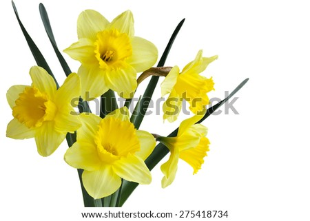 Narcissus daffodil (jonquil) spring perennial plants - stock photo