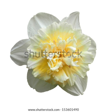 Narcissus double isolated on white background. Clipping path included. - stock photo