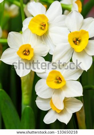 narcissus flower - stock photo