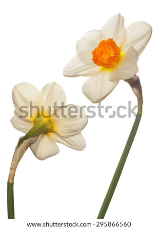 Narcissus flower head isolated on white - stock photo