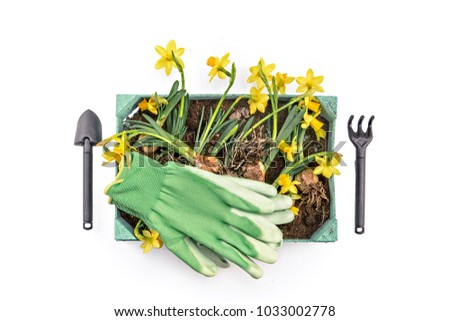 Narcissus flower in a pot isolated on white background with garden tools