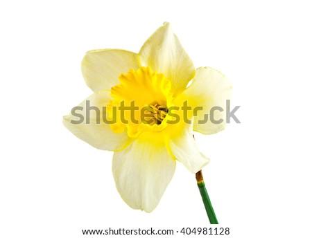 Narcissus flower isolated on white background - stock photo
