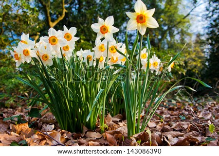 narcissus flowers. - stock photo