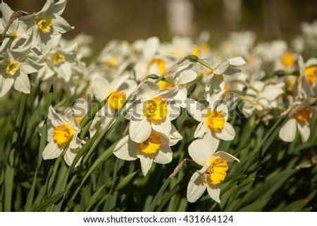 narcissus flowers background texture