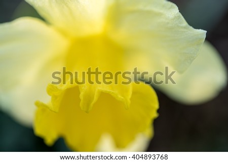 narcissus frontal view - stock photo