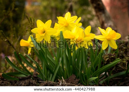 Narcissus group on garden, daffodil bloom in spring time - stock photo