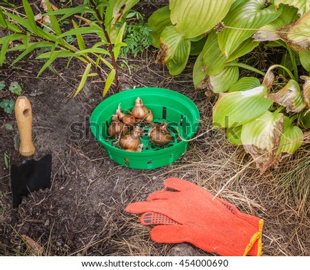 Narcissus in a basket for planting bulbs in the ground - stock photo