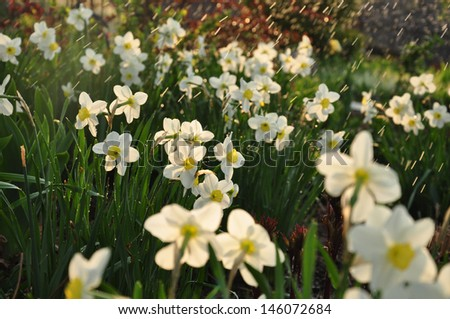 narcissus in the rain