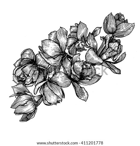 narcissus. ink hand drawn flowers isolated on white background