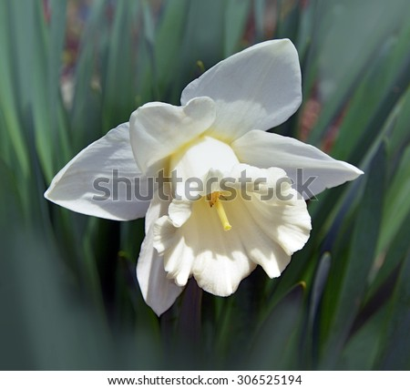 Narcissus  on a dark background in a garden on a dark background in a garden - stock photo