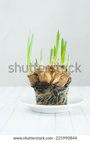 narcissus root balls in humus on white wood table - stock photo