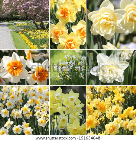 Narcissus spring collage - stock photo