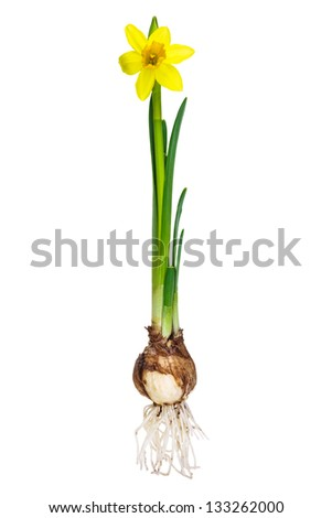 Narcissus with bulb and roots isolated on a white background - stock photo
