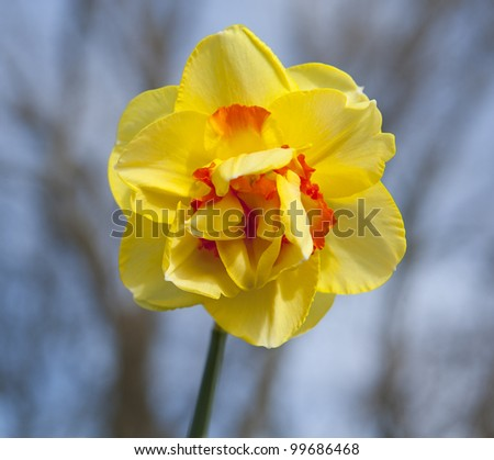 narcissus with trees in background - stock photo