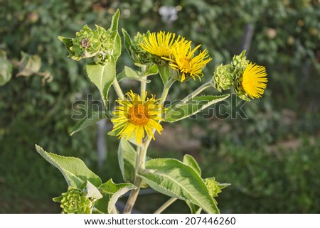 Nard yellow flowers on a green background garden in July - stock photo